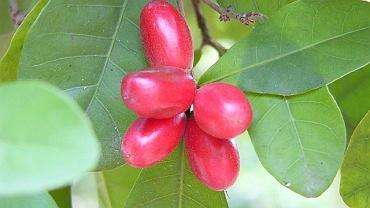 Synsepal, owoc z mirakuliną - substancją, która blokuje kubeczki smakowe odpowiedzialne za odczuwanie smaku kwaśnego i gorzkiego