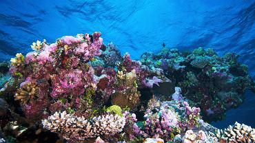 Wielka Rafa Koralowa, Australia. Wielka Rafa Koralowa u wybrzeży Australii jest największą, najbardziej różnorodną i najpiękniejszą rafą koralową na świecie. Jest też jedną z najmłodszych raf - niektóre jej odcinki liczą sobie tylko 500 tys. lat. Rozciąga się na długości ponad 2 tys. km, od miasta Brisbane do Zatoki Papau. Jest to wyjątkowy, największy na Ziemi wytwór organizmów żywych, widoczny nawet z kosmosu. Woda otaczająca rafę jest kryształowo czysta. Korale mienią się przeróżnymi barwami. W ich otoczeniu żyją tysiące gatunków ryb. To przepiękny podwodny świat.