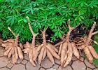 Maniok: wartości odżywcze. Jak jeść maniok?