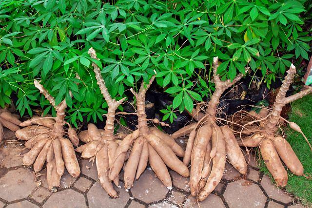 Maniok w niektórych krajach tropikalnych bywa spożywany kilka razy dziennie