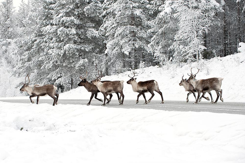 Finlandia, Laponia, renifer