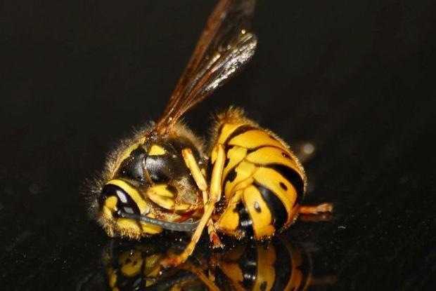 Jak usunąć gniazdo os, pszczół i szerszeni? Bzyczą, żądlą i są niebezpieczne