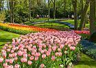 Holandia wiosną. Keukenhof - Płonące Serce w kuchennym ogrodzie