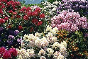 Różaneczniki (Rhododendrony) odporne na mróz