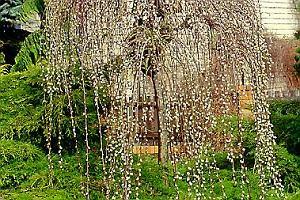 Wierzba (miniaturowa) - Salix