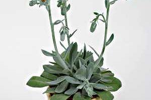Niebezpieczne rośliny doniczkowe
