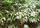Bambusy - nie tylko dla misia pandy