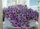 Kwiaty na balkon. Te rośliny polecają nasi czytelnicy.