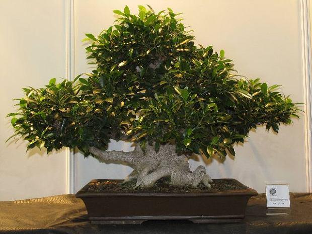 Drzewko Bonsai Znaczenie Projektowanie Pielęgnacja