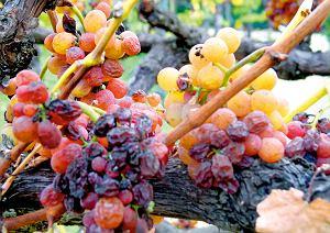 Owoce, które wyschły na krzaku, mają wyjątkowo wysoką zawartość cukru.