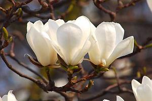 Magnolia - gatunki i odmiany