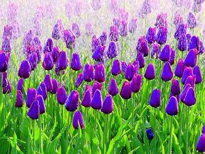 Cebulki tulipanów z Holandii