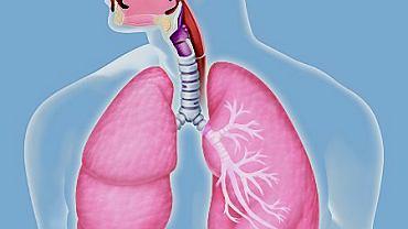 Układ oddechowy, płuca, oskrzela, pęcherzyki płucne