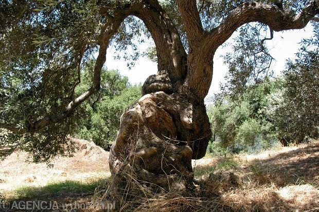 Drzewo, Kreta