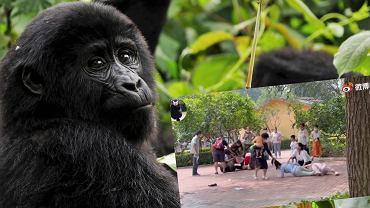 Chiny. Bójka w zoo