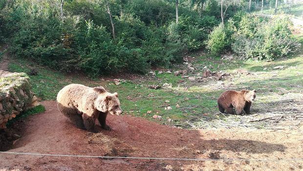 Kuterevo. Te niedźwiedzie są jeszcze młode. Hmmm.