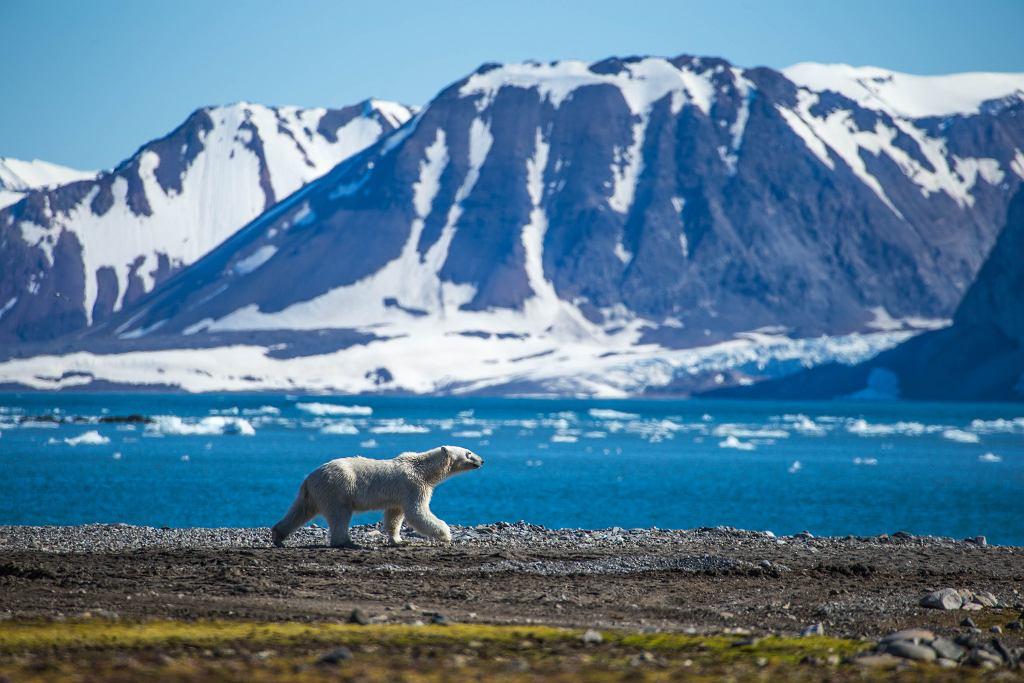 Niedźwiedź polarny na południowym Spitsbergenie