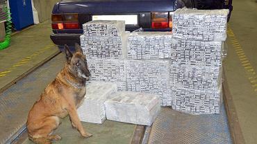 Przemyt 3100 paczek papierosów udaremnili funkcjonariusze podlaskiej KAS z drogowego przejścia granicznego w Kuźnicy. Wspomagał ich owczarek belgijski Iga