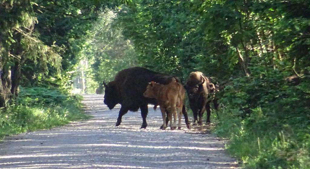 Puszcza Augustowska. Leśnicy myśleli, że krowa to żubr