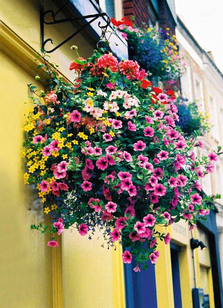 ROŚLINY PACHNĄCE. Petunia. Jedna z najpopularniejszych roślin balkonowych, o aromacie podobnym do lilii. Najnowsze odmiany często są go pozbawione, dlatego warto wybierać te tradycyjne, o dużych kwiatach. Znaczenie ma też kolor kwiatów ? najmocniej i najpiękniej pachną białe i fioletowe. Warto kupować petunie z już rozwiniętymi kwiatami, które można powąchać, by sprawdzić, czy pachną.