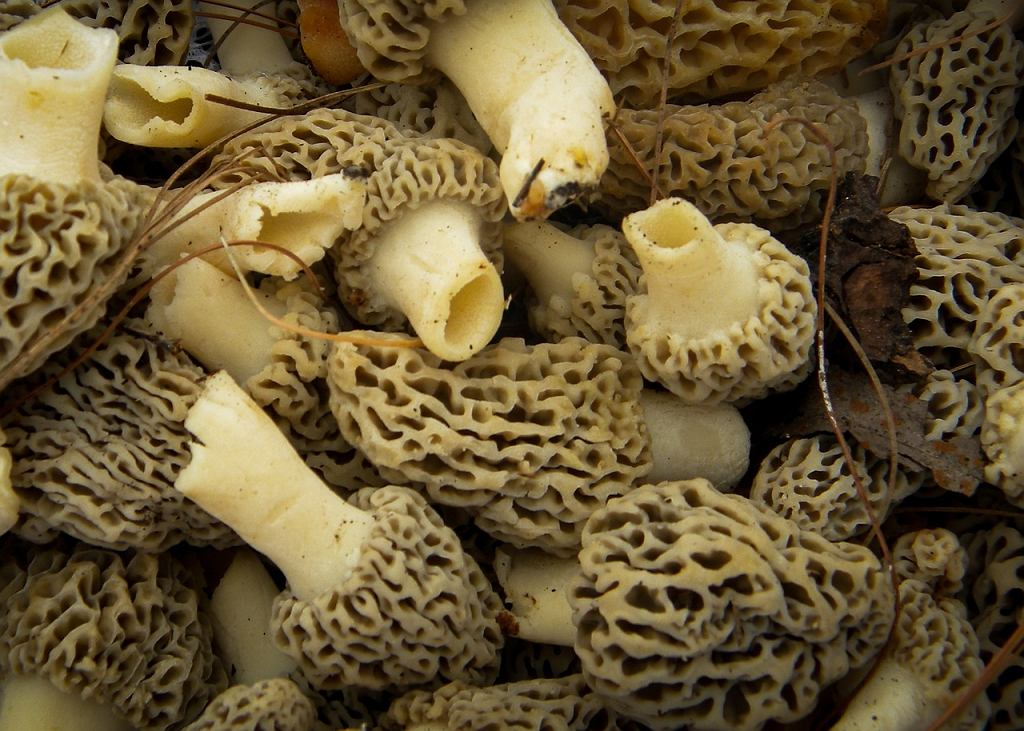 Lista grzybów, które można jeść w Polsce, ma szanse powiększyć się o trzy gatunki z rodziny smardzowatych