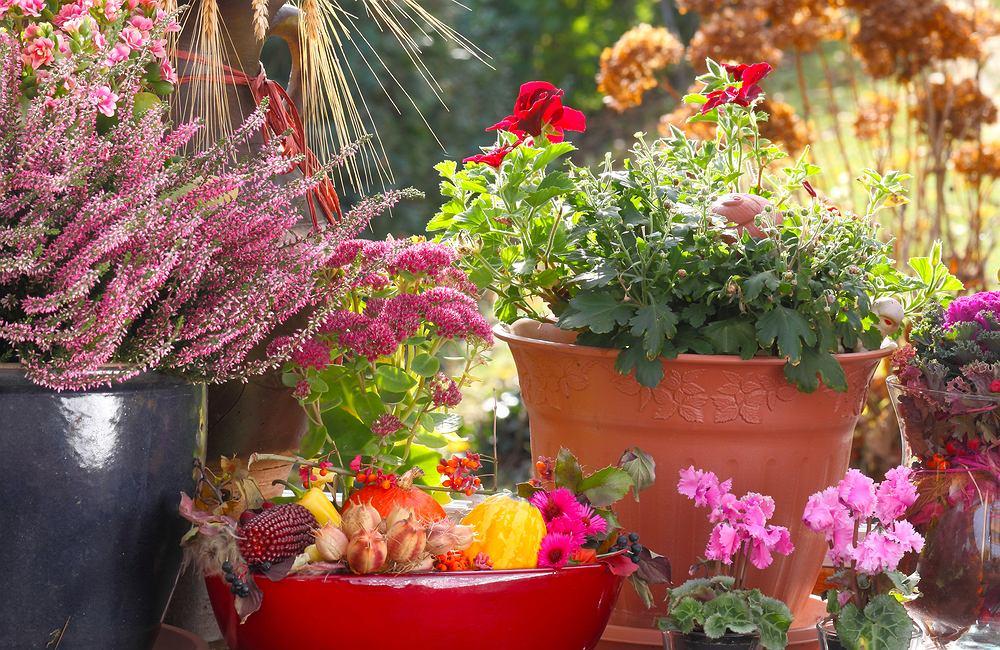 Rośliny na balkon. Zdjęcie ilustracyjne