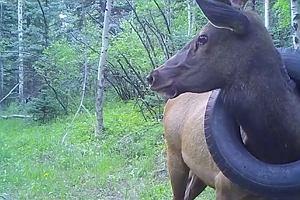 Jeleń żył przez dwa lata z oponą samochodową na szyi. Żeby go uwolnić, trzeba było mu odciąć poroże