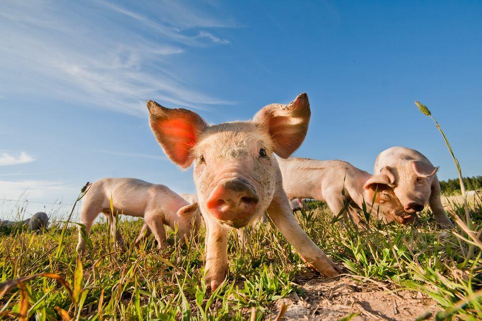 Badacze poddawali świńskie mózgi przez sześć godzin działaniu systemu BrainEx. W tym czasie zaobserwowali spowolnienie procesów obumierania komórek nerwowych; zebrali również dowody na przywrócenie niektórych funkcji komórkowych, w tym aktywności synaptycznej, czyli zdolności do komunikowania się poszczególnych neuronów między sobą.