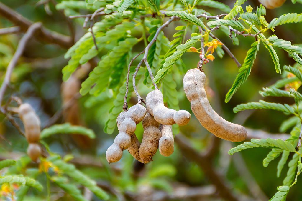 Tamarynd to owoc, który zawiera wiele cennego żelaza i potasu