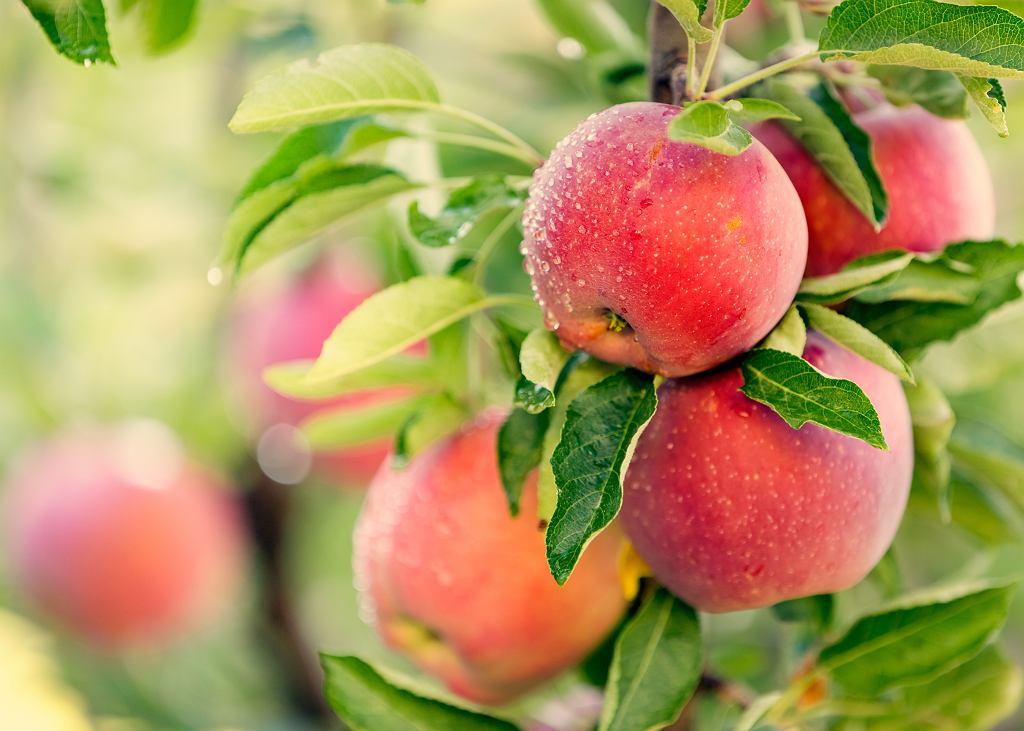 Ceny jabłek są rekordowo wysokie.