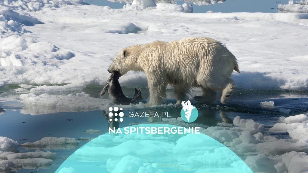 Niedźwiedź polarny po upolowaniu foki, Svalbard, Morze Barentsa