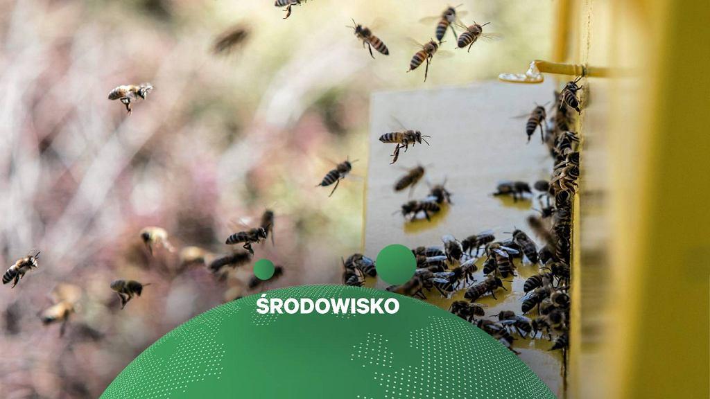 Pszczoły / zdjęcie ilustracyjne