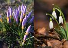 W Polsce pojawiły się już pierwsze oznaki wiosny. Zakwitły przebiśniegi i krokusy [ZDJĘCIA]