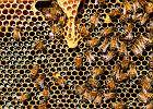 Bez miodu, lodów, dżinsów. Jak wyglądałby świat bez pszczół?