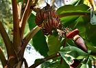 Czerwone banany - właściwości, smak, zastosowanie