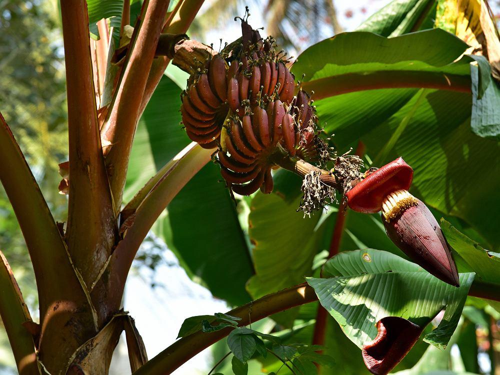 Czerwone banany, podobnie jak żółte, są jednymi z bardziej kalorycznych owoców