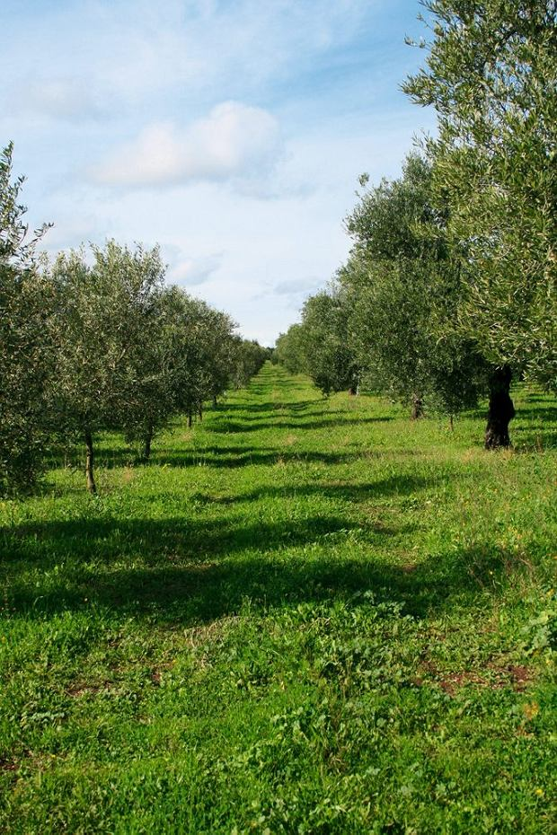 Włochy, Apulia, gaj oliwny Alessandro.