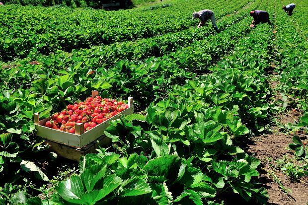Ceny truskawek spadają. Czereśnie nadal bardzo drogie