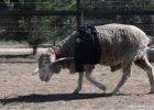 Specjalna obręcz pomaga chodzić ślepej owcy, tak by się nie potykała
