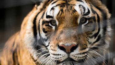 Tygrys - zdjęcie ilustracyjne