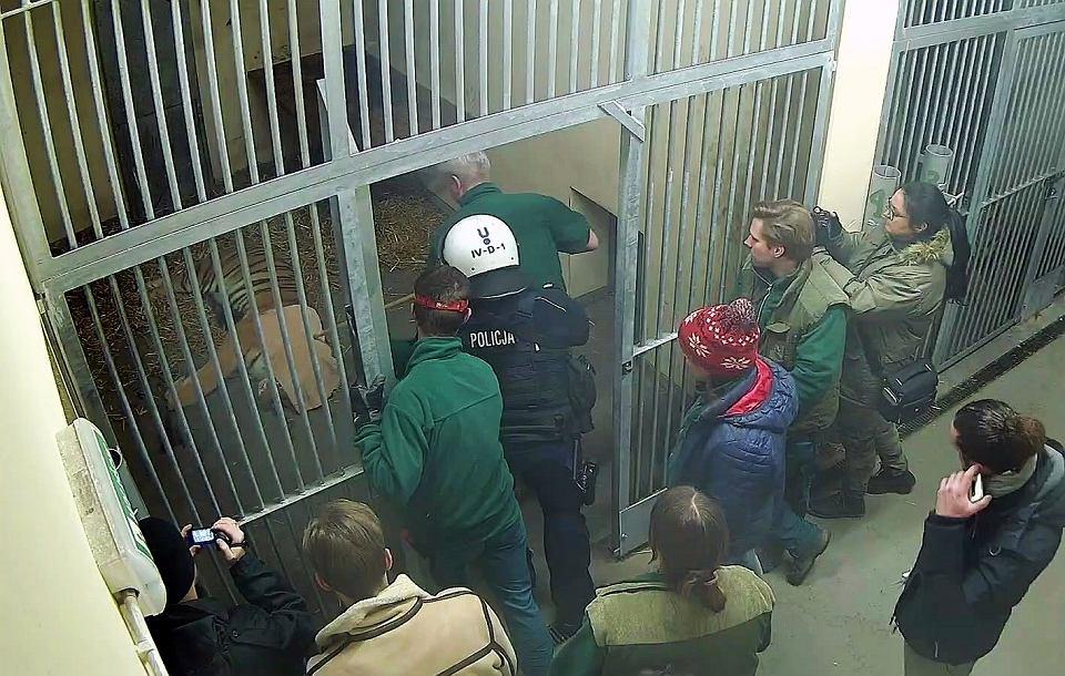 Zdjęcie numer 1 w galerii - Uratowane tygrysy jadądo Hiszpanii.Te nagrania pokazują, jak trudna była akcja w poznańskim zoo
