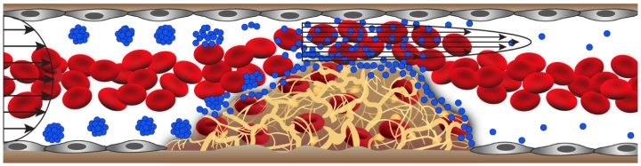 Wyss Institute / Caption: The shear-activated nanotherapeutic breaks apart and releases its drug when it encounters regions of vascular narrowing.