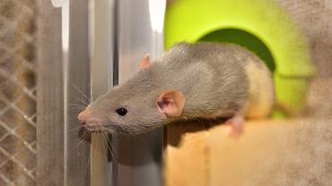 Szczur |