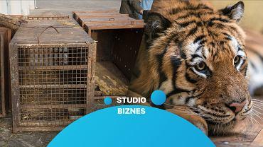 Oszalałe tygrysy powoli dochodzą do siebie