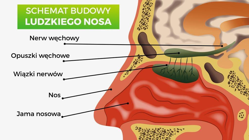 Budowa nosa - nos składa się z jamy nosowej przedzielonej przegrodą chrzęstno-kostną