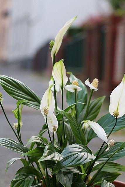 Skrzydłokwiat - pielęgnacja, uprawa, odmiany, choroby