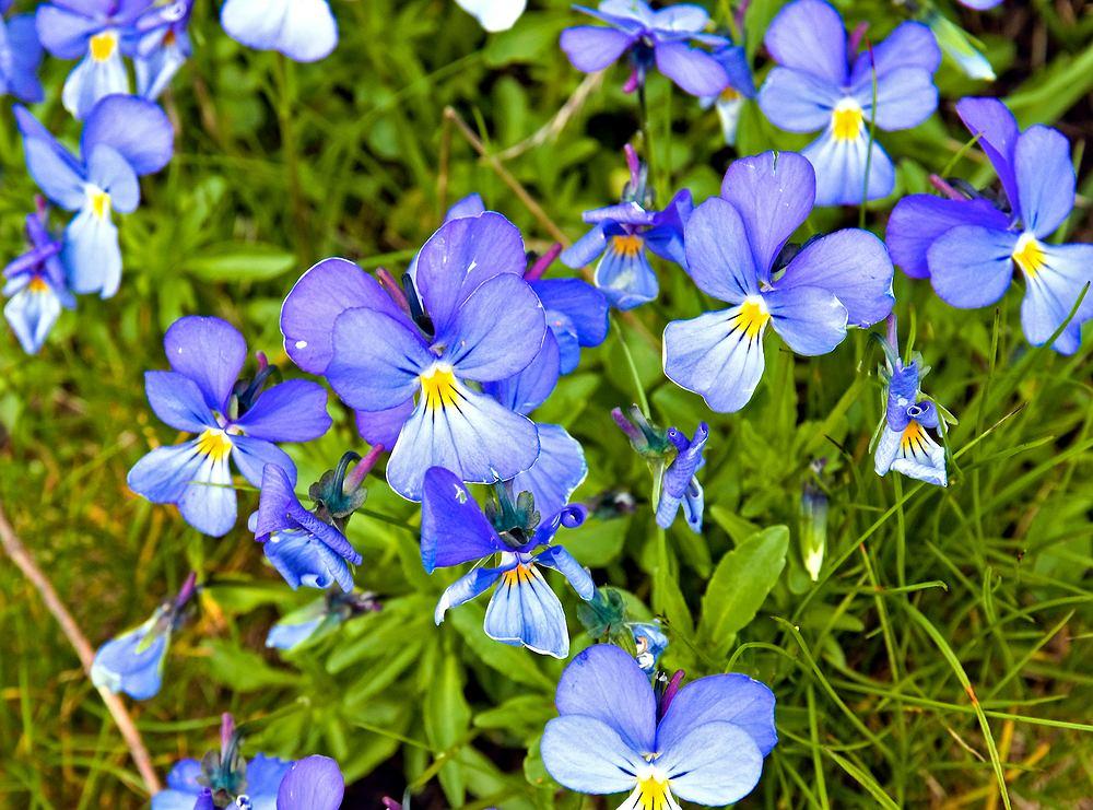 Fiołek alpejski (Viola alpina). Zdjęcie ilustracyjne