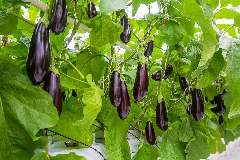 Oberżyna jest produktem niskokalorycznym - w 100 gramach tych warzyw jest jedynie około 25 kcal