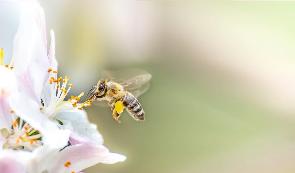 Użądlenie pszczoły. Zdjęcie ilustracyjne