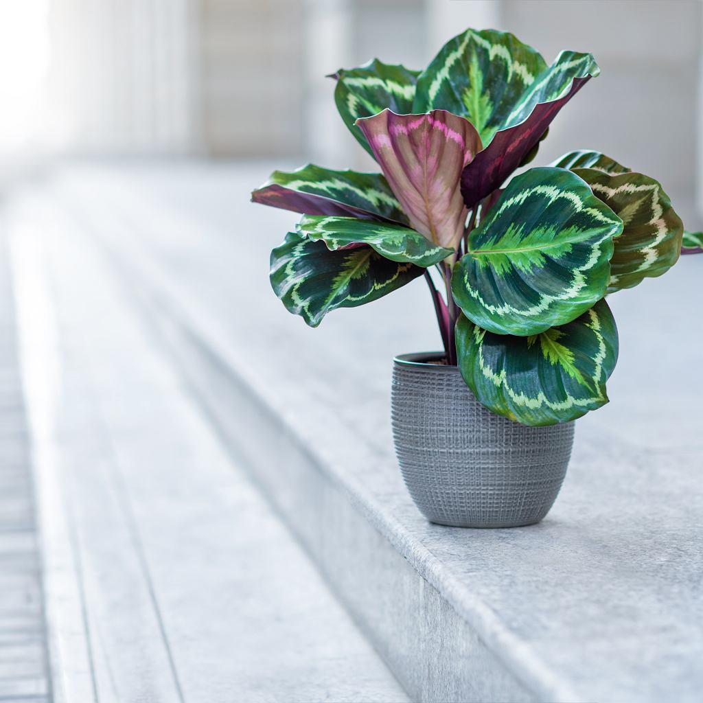 Kwiat kalatea to bardzo wymagająca roślina. Zdjęcie ilustracyjne